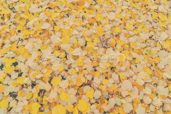 Alder tree fall leaves background Stock photo © neirfy