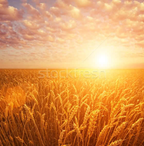 Wheat field over cloudy sky Stock photo © Nejron