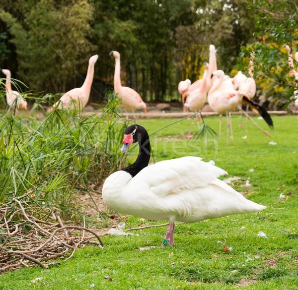 White swan will black neck against group of pink flamingos  Stock photo © Nejron