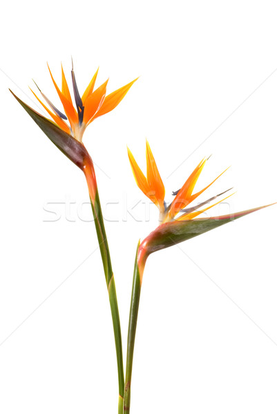Bird of paradise flower (Strelitzia reginae) isolated on white b Stock photo © Nejron