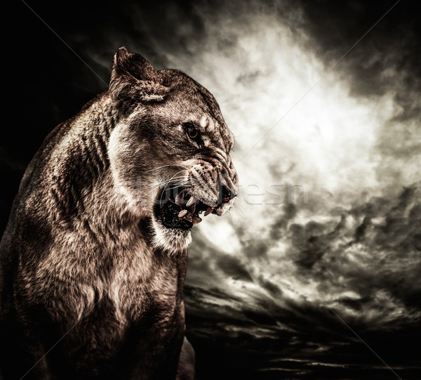 Roaring lioness against stormy sky  Stock photo © Nejron