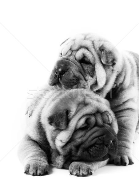 Dois sharpei filhotes de cachorro textura cão cara Foto stock © Nejron