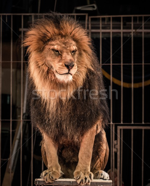 Gorgeous lion sitting in a circus arena cage Stock photo © Nejron