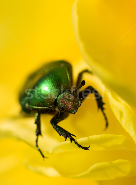 Verde bicho sessão flor amarela raso Foto stock © Nejron