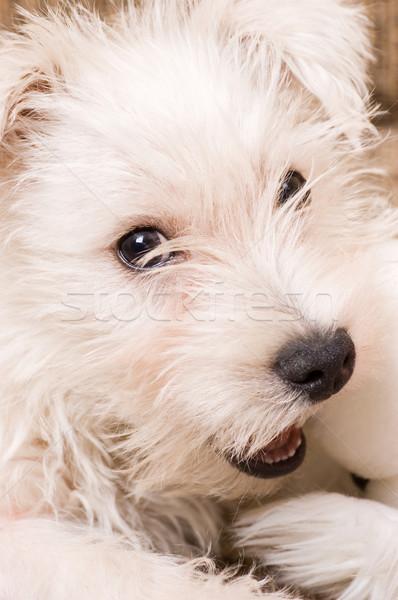 Stockfoto: Witte · puppy · hond · alleen · dier · spelen