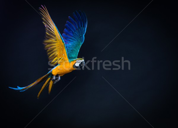 Colourful flying Ara on a dark background  Stock photo © Nejron
