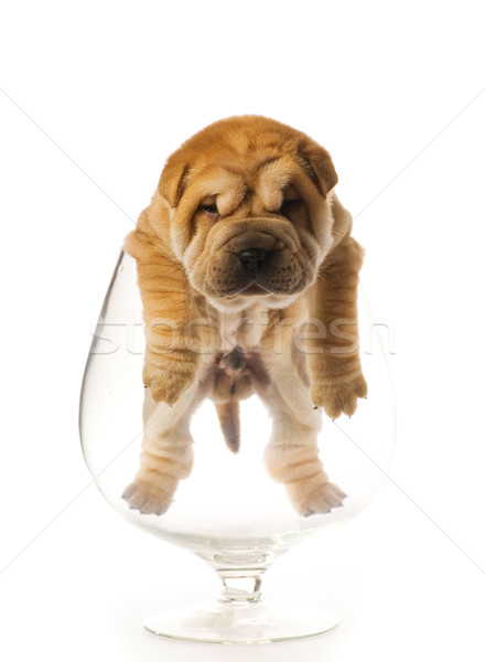 Sharpei puppy inside glass isolated on white background (studio  Stock photo © Nejron