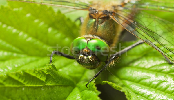 Dragonfly on a leaf Stock photo © Nejron