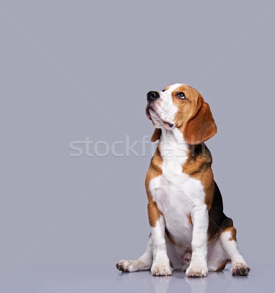 ビーグル 犬 孤立した グレー 背景 肖像 ストックフォト © Nejron