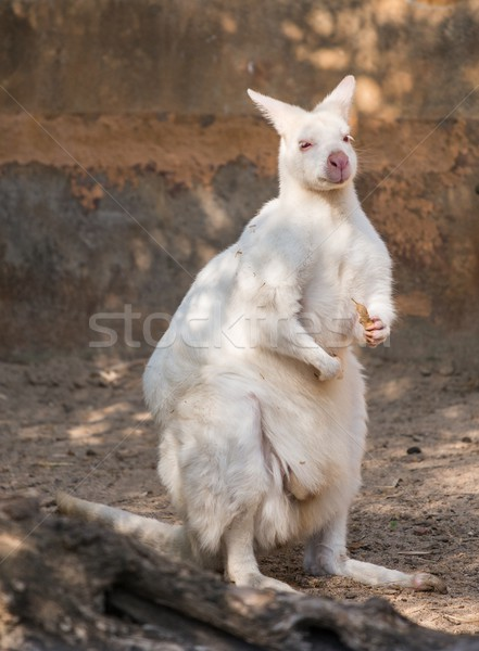 White wallaby in a zoo Stock photo © Nejron