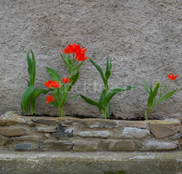 Piękna czerwony tulipany konkretnych ściany kwiat Zdjęcia stock © Nejron
