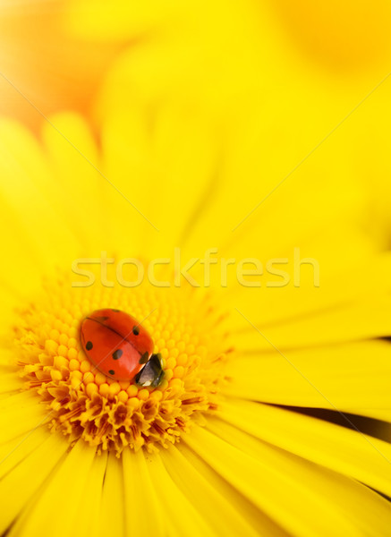 Kicsi katicabogár alszik sárga virágok szirmok nyár Stock fotó © Nejron