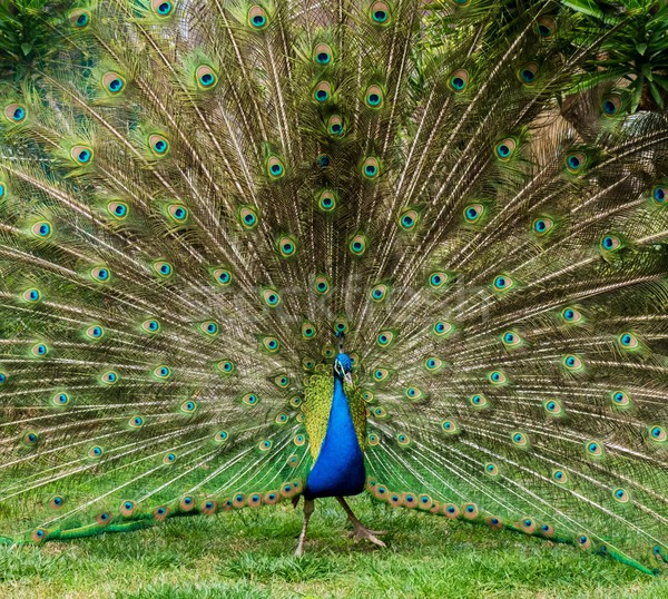 Peacock with beautiful feathers outdoors Stock photo © Nejron