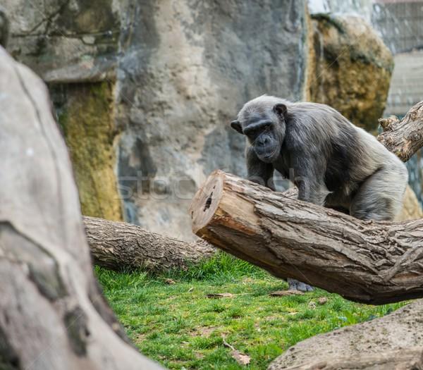 Gorilla walking in the zoo Stock photo © Nejron