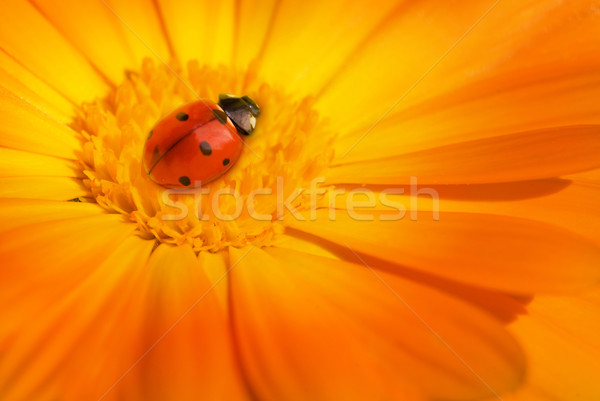 てんとう虫 座って 花 庭園 夏 だけ ストックフォト © Nejron
