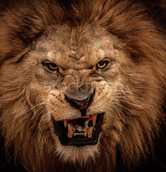 Close-up shot of roaring lion Stock photo © Nejron