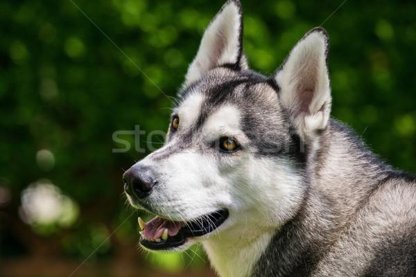 Gyönyörű husky portré kutya zöld fiatal Stock fotó © Nejron
