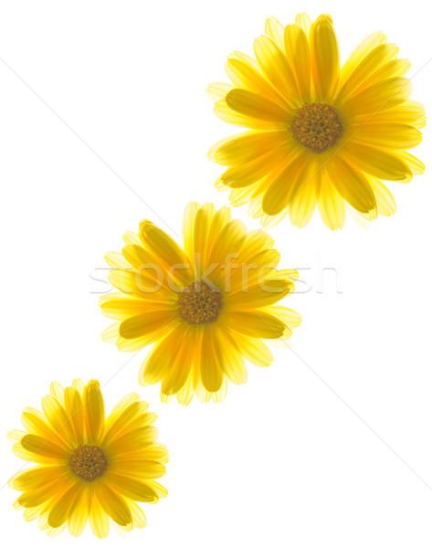 Yellow flowers on white background Stock photo © Nejron