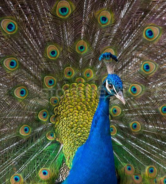 クローズアップ ショット 孔雀 眼 自然 美 ストックフォト © Nejron