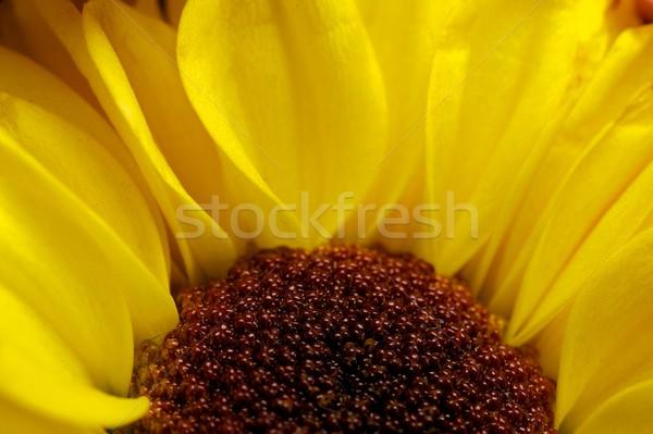 黄色の花 マクロ 花 春 抽象的な 自然 ストックフォト © Nejron