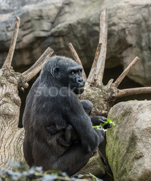 Black gorilla with her baby Stock photo © Nejron