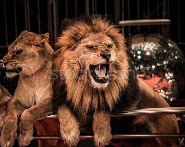 Gorgeous roaring lion and lioness on circus arena Stock photo © Nejron