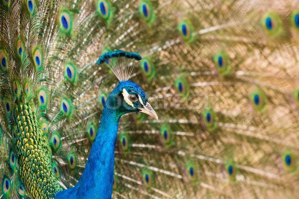 Coup paon oeil nature beauté Photo stock © Nejron