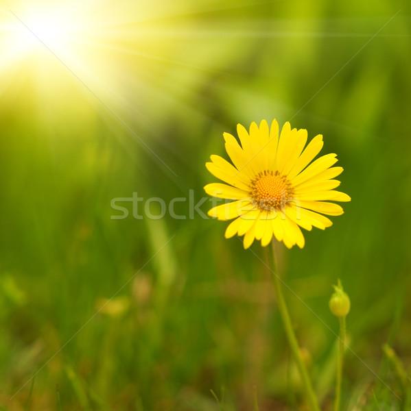 Gelbe Blume grünen verschwommen abstrakten Garten Hintergrund Stock foto © Nejron