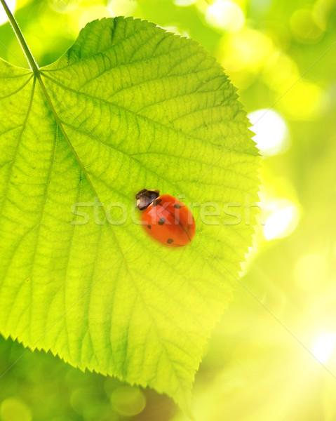 Katicabogár zöld levél tavasz nap fény háttér Stock fotó © Nejron