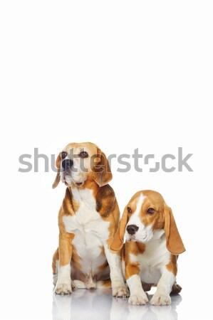 Kettő kopó kutyák izolált fehér kutya Stock fotó © Nejron