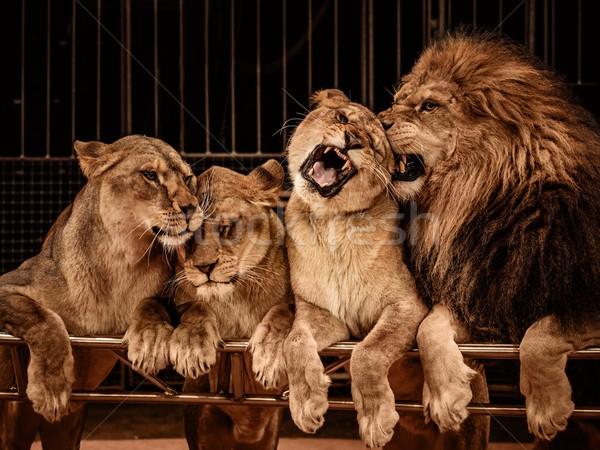 Lion and three lioness Stock photo © Nejron