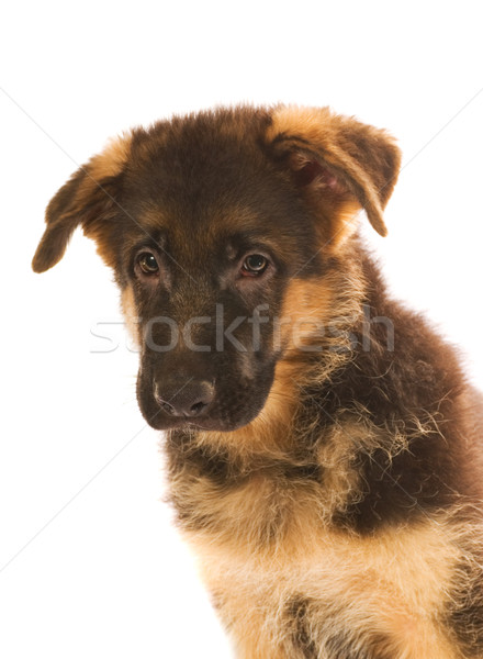German shepherd puppy isolated on white background Stock photo © Nejron