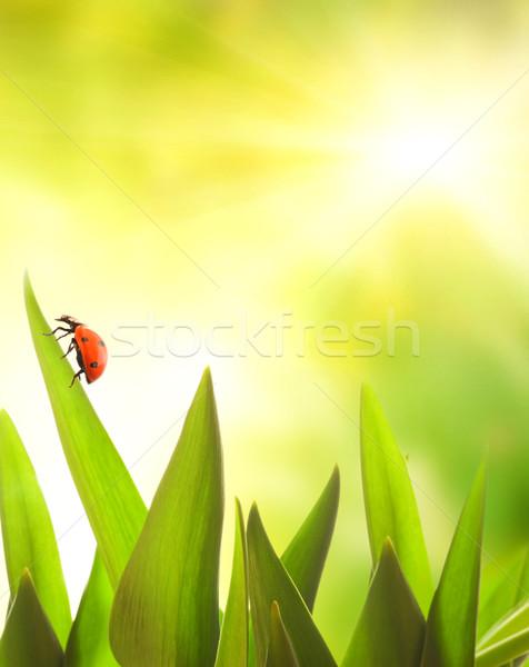 Coccinelle séance herbe verte printemps herbe feuille Photo stock © Nejron