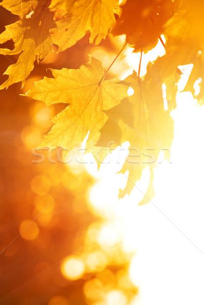 オレンジ メイプル 葉 秋 太陽 葉 ストックフォト © Nejron