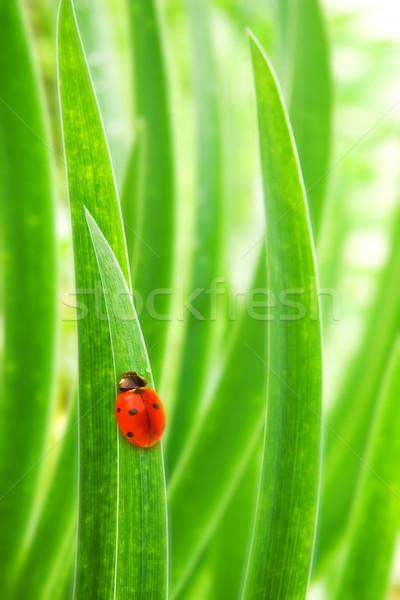 Marienkäfer Sitzung grünen Gras seicht Frühling Stock foto © Nejron