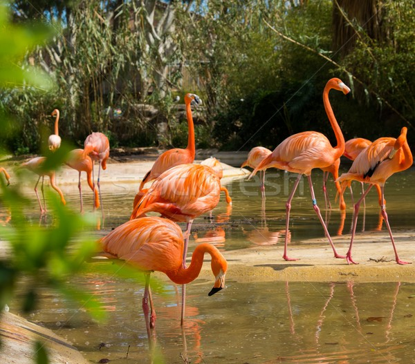 Stock photo: Group of pink flamingos near water