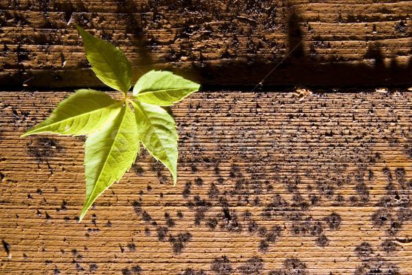 Sprout on wooden texture Stock photo © Nejron