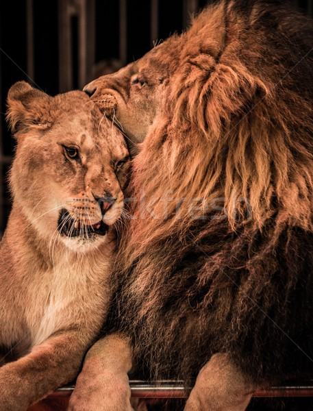 Gorgeous lion and lioness on circus arena Stock photo © Nejron