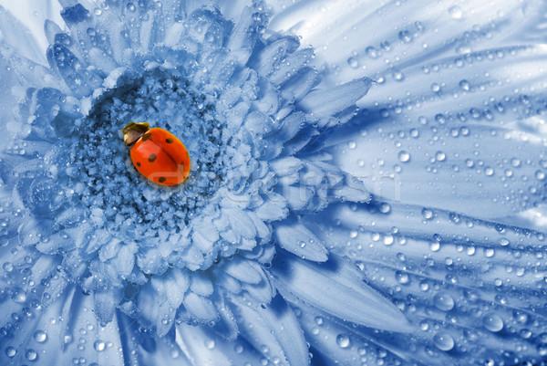 Katicabogár ül kék virág szépség eső gyógyszer Stock fotó © Nejron