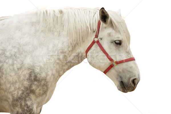 Fehér ló portré fej fehér állat gyönyörű Stock fotó © Nejron