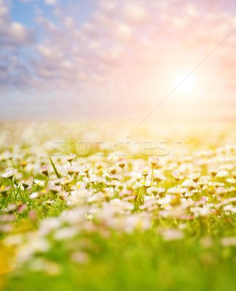 Champ de fleurs bleu nuageux ciel printemps été Photo stock © Nejron