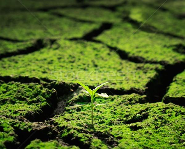 Green plant growing trough dead soil Stock photo © Nejron