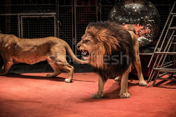 Gorgeous roaring lion walking on circus arena  Stock photo © Nejron