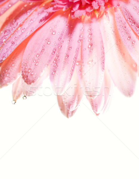 Flower petals with water drops on it Stock photo © Nejron