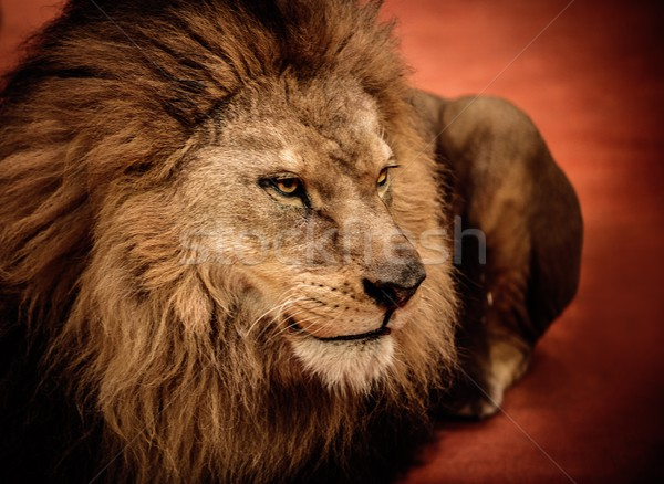 Stock photo: Lion lying on the arena