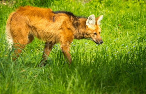 Maned wolf in a green grass Stock photo © Nejron