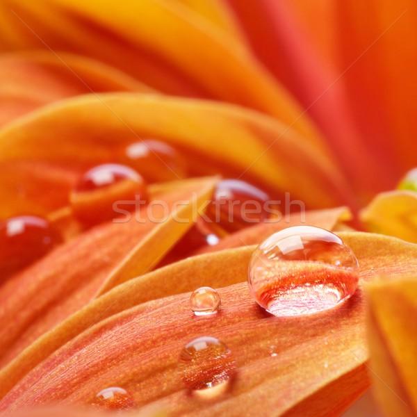 Stok fotoğraf: Turuncu · çiçek · yaprakları · su · damlası · su · doku
