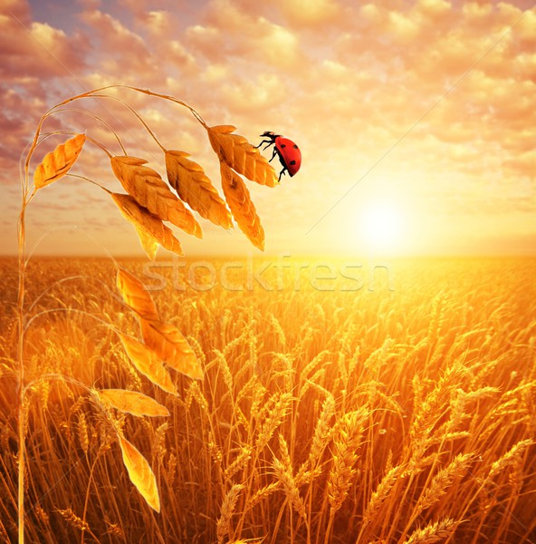 Evening sky over ladybuh sitting on a wheat stem. Stock photo © Nejron