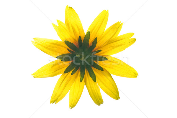 Gelbe Blume isoliert weiß Blume Sonne Schönheit Stock foto © Nejron