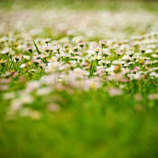 Champ de fleurs fleur printemps été vert ferme Photo stock © Nejron